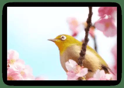setsubun, Japanese, Japanese spring, ume, plum blossom, mejiro