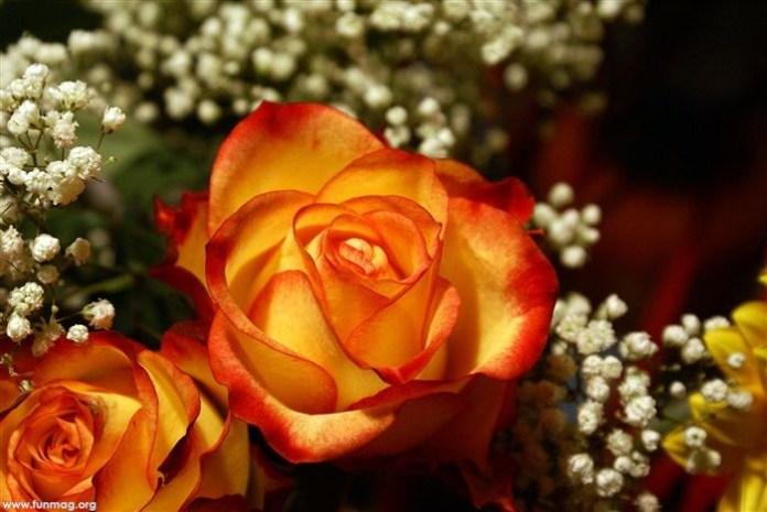 beautiful-roses-13