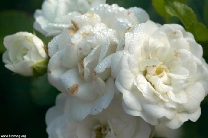 white-roses-01