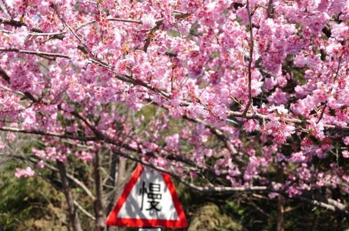 japanese-cherry-blossom- (4)