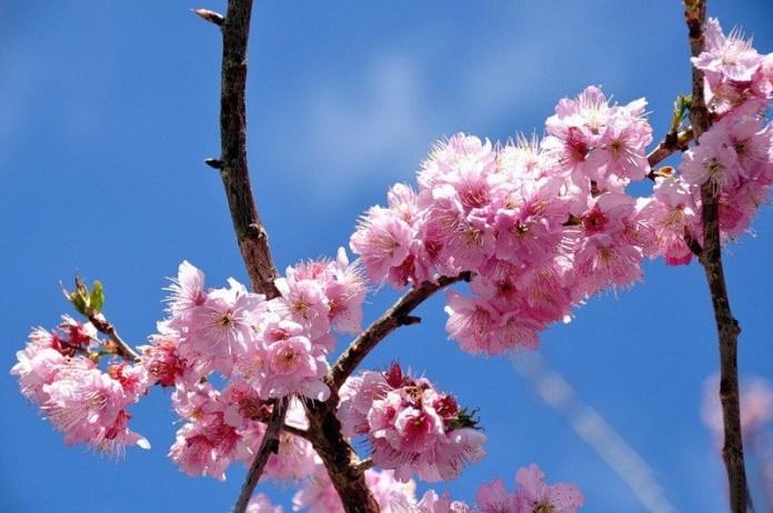 japanese-cherry-blossom- (9)