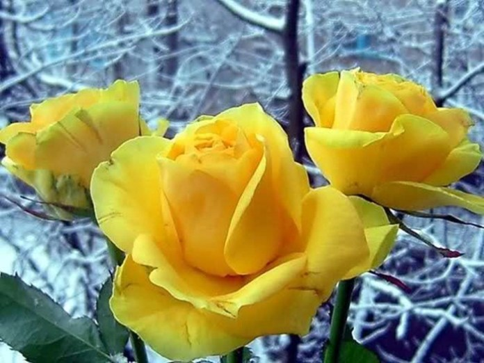 picture-of-yellow-roses- (3)