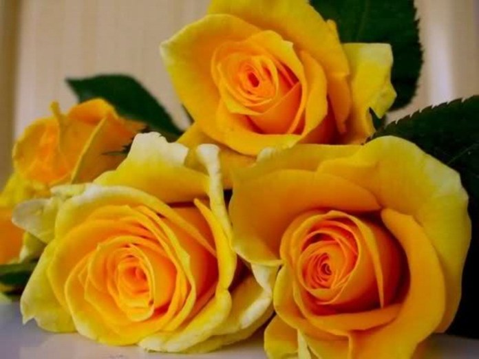 picture-of-yellow-roses- (6)