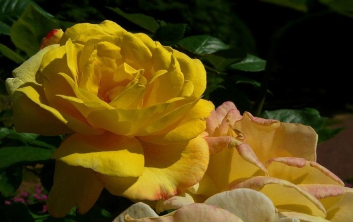 picture-of-yellow-roses- (10)