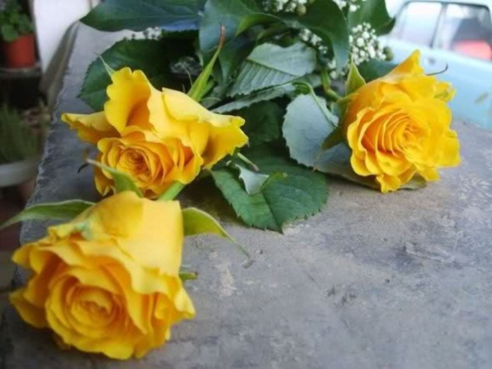 picture-of-yellow-roses- (16)