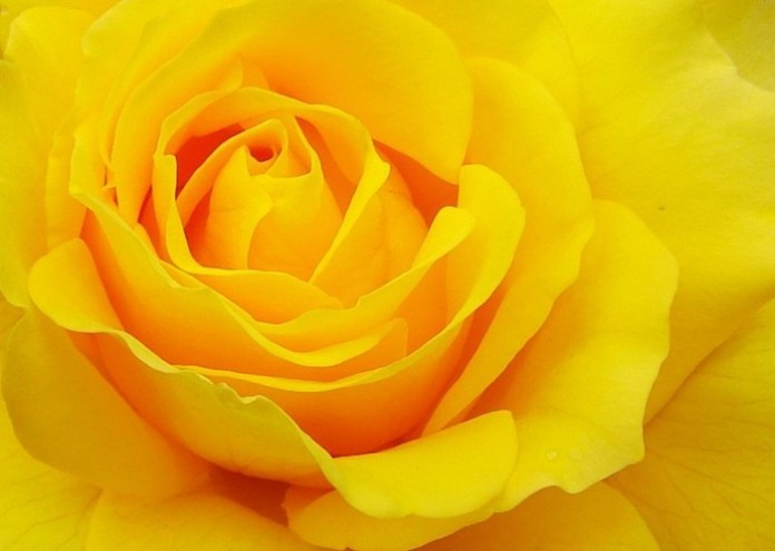 picture-of-yellow-roses- (25)