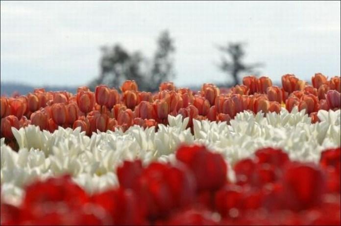 tulips-field- (5)
