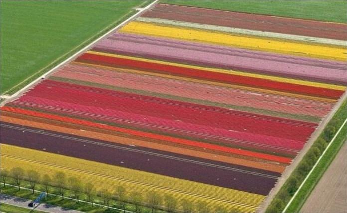 tulips-field- (8)