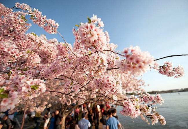 photos-of-cherry-blossom-festival-in-washington- (20)
