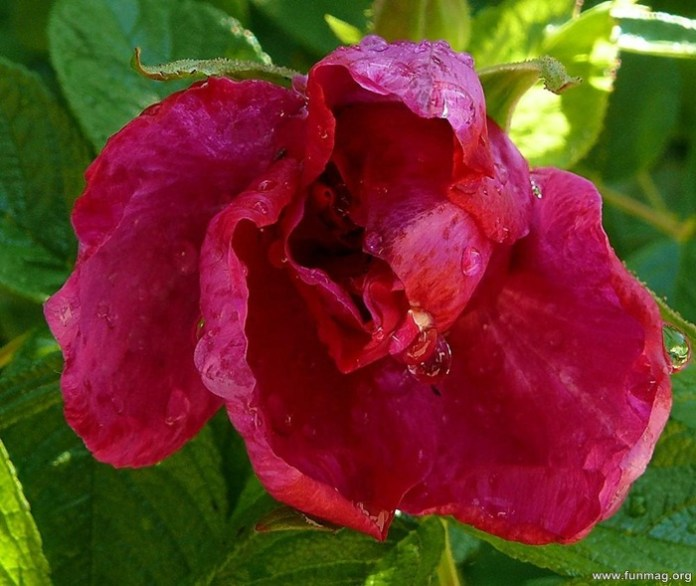 romantic-red-roses-pictures- (30)