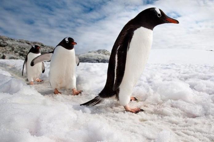cute-penguin-photos- (12)