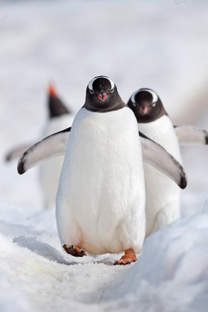 cute-penguin-photos- (13)