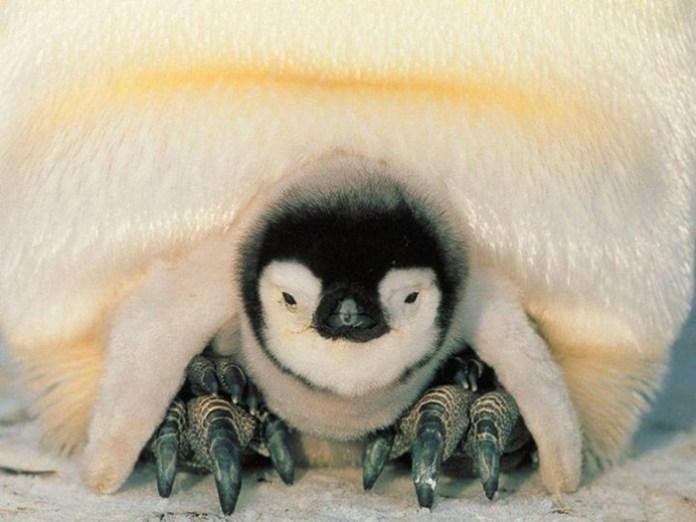 cute-penguin-photos- (14)