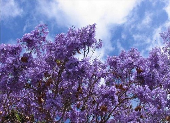 blooming-trees- (3)