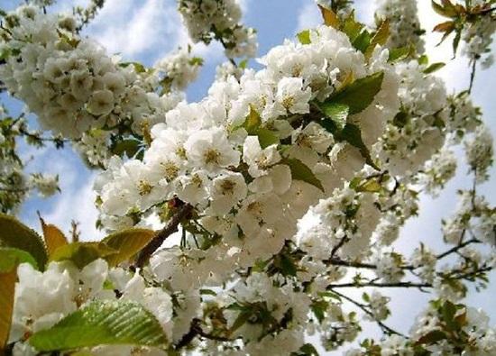 blooming-trees- (9)