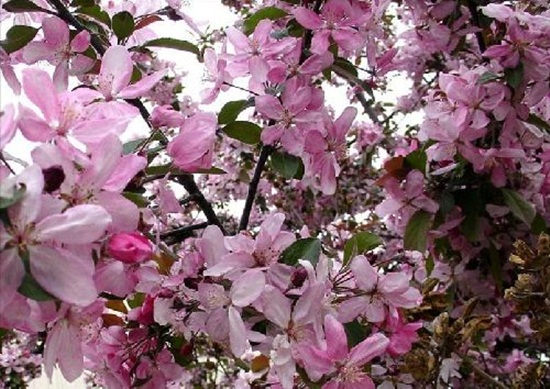 blooming-trees- (11)