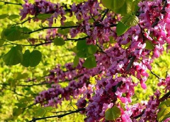 blooming-trees- (15)