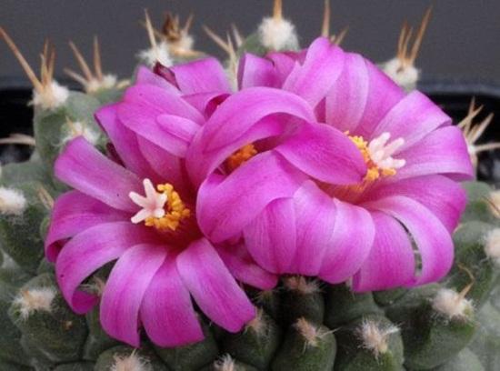 cactus-flowers- (6)