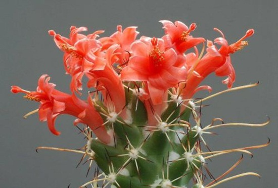cactus-flowers- (7)
