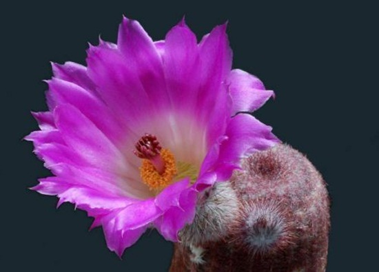 cactus-flowers- (8)