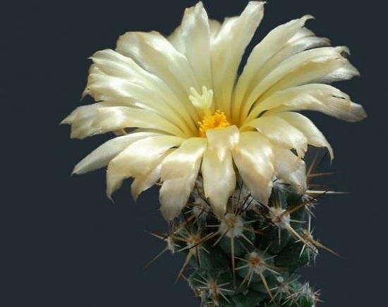 cactus-flowers- (9)