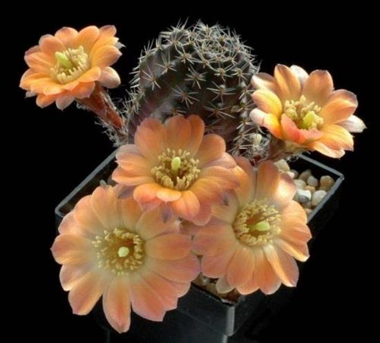 cactus-flowers- (20)