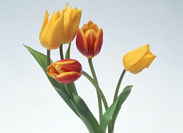 tulip-flower-wallpaper- (15)