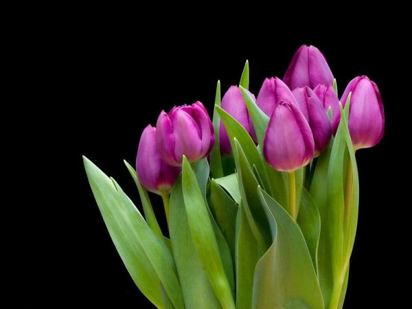 tulip-flower-wallpaper- (7)