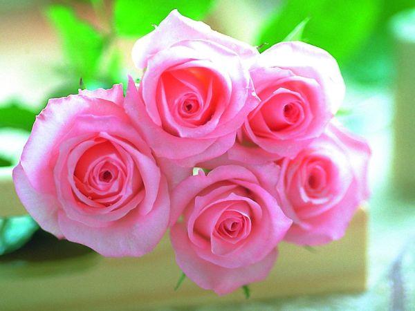 beautiful-roses-wallpapers-20-photos- (13)