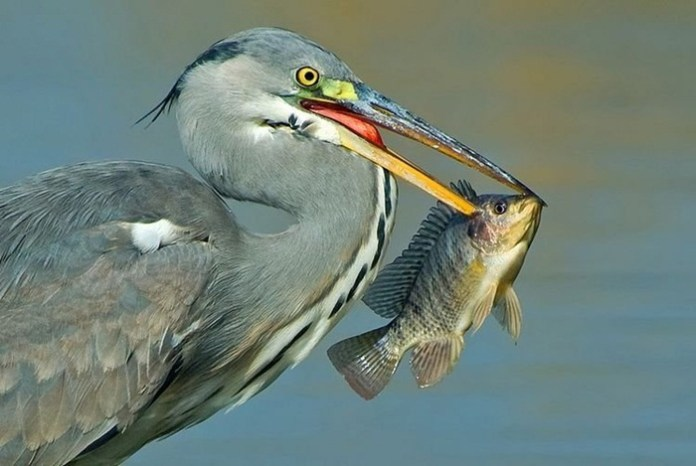 pictures-of-birds-after-successfully-hunted-their-food- (1)