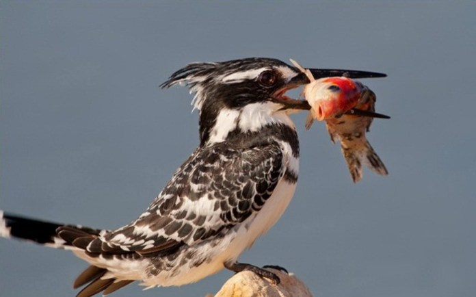 pictures-of-birds-after-successfully-hunted-their-food- (6)