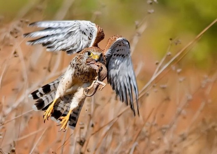 pictures-of-birds-after-successfully-hunted-their-food- (18)