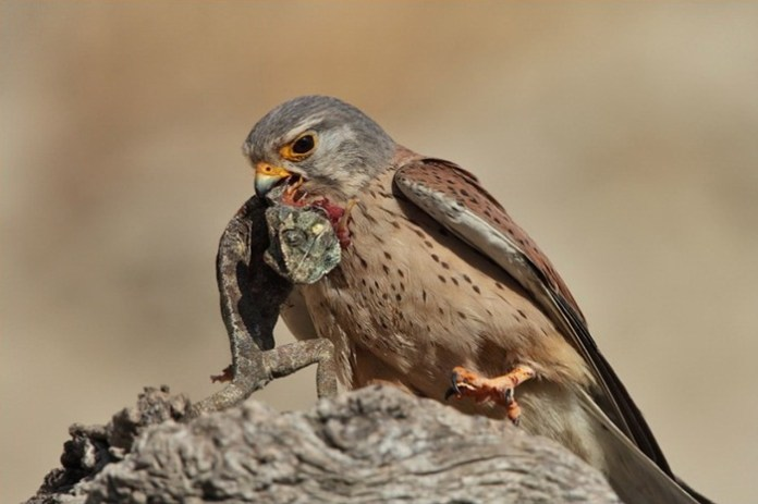 pictures-of-birds-after-successfully-hunted-their-food- (19)