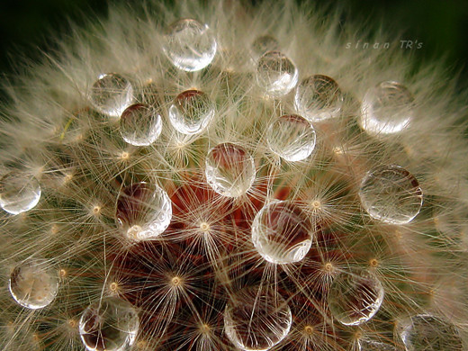 dew-drops- (7)