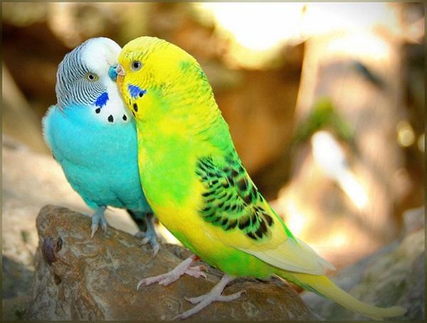 love-birds-kissing- (9)