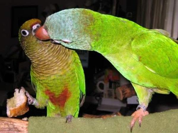 love-birds-kissing- (14)