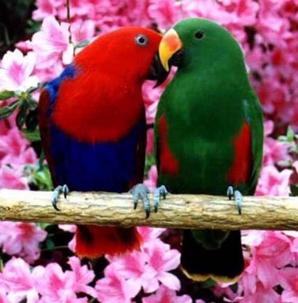 love-birds-kissing- (20)