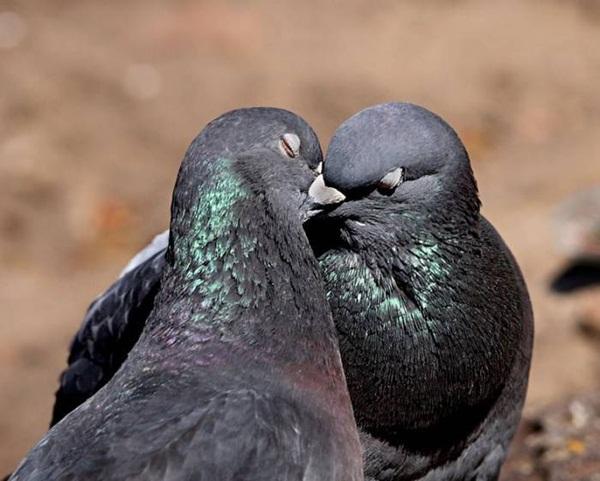 love-birds-kissing- (27)