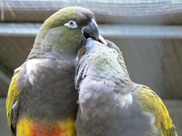 love-birds-kissing- (30)