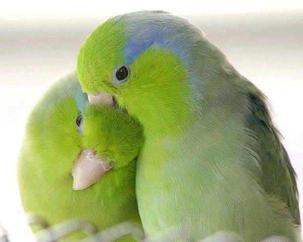 love-birds-kissing- (33)