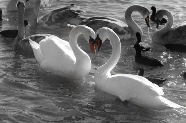 beautiful-swan-photos- (1)