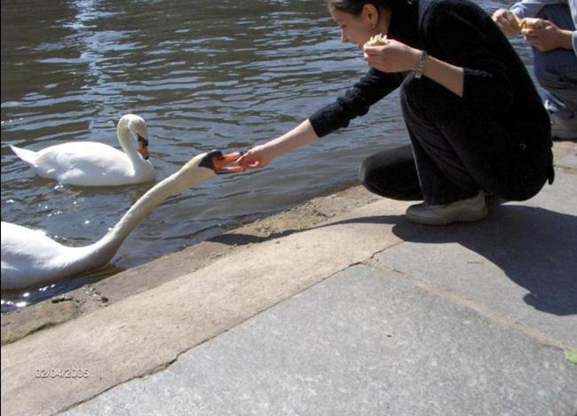 beautiful-swan-photos- (2)