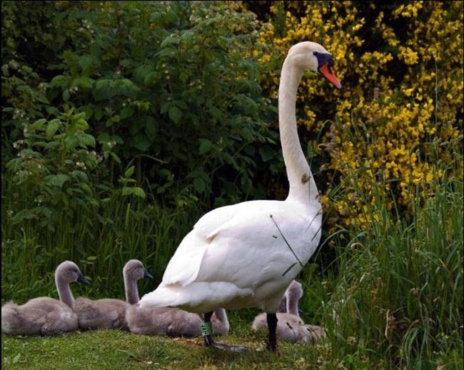 beautiful-swan-photos- (4)