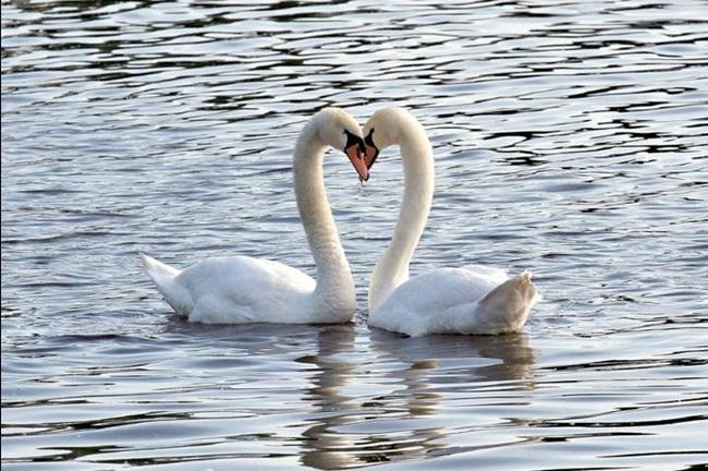 beautiful-swan-photos- (6)