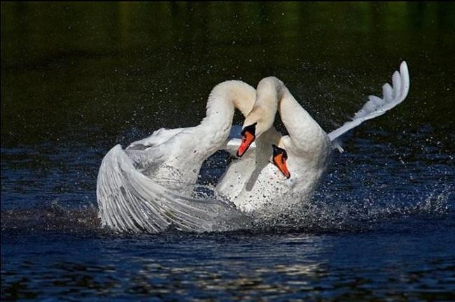beautiful-swan-photos- (8)