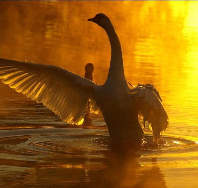 beautiful-swan-photos- (10)