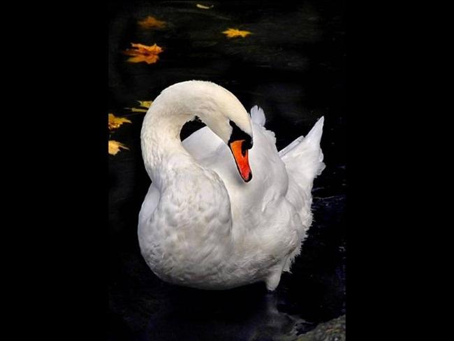 beautiful-swan-photos- (14)