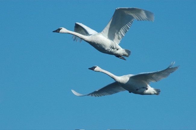 beautiful-swan-photos- (17)