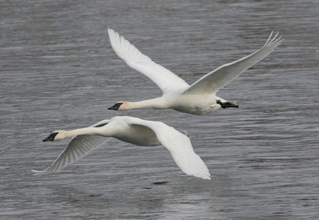 beautiful-swan-photos- (18)
