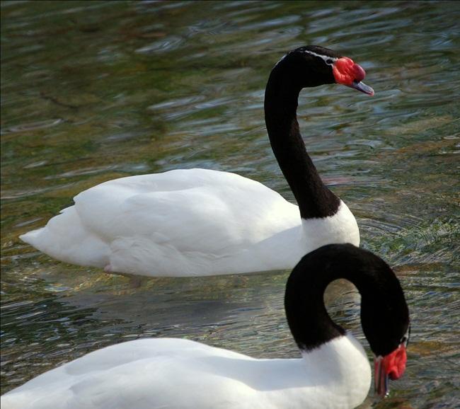 beautiful-swan-photos- (22)